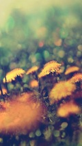 dandelions field background