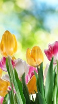 yellow and pink tulip wallpaper
