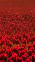 a field of red tuplips background
