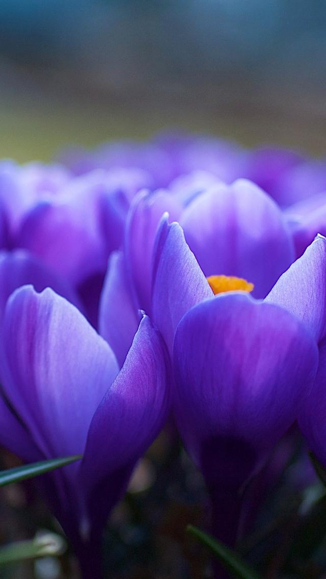 blue flowers iphone wallpaper 640*1136