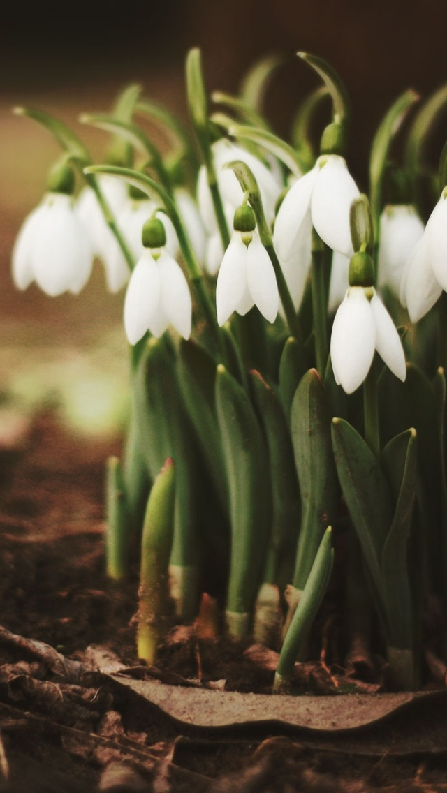 white spring flowers iphone wallpaper 640*1136