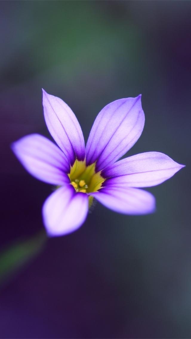 purple flower iphone wallpaper 640*1136