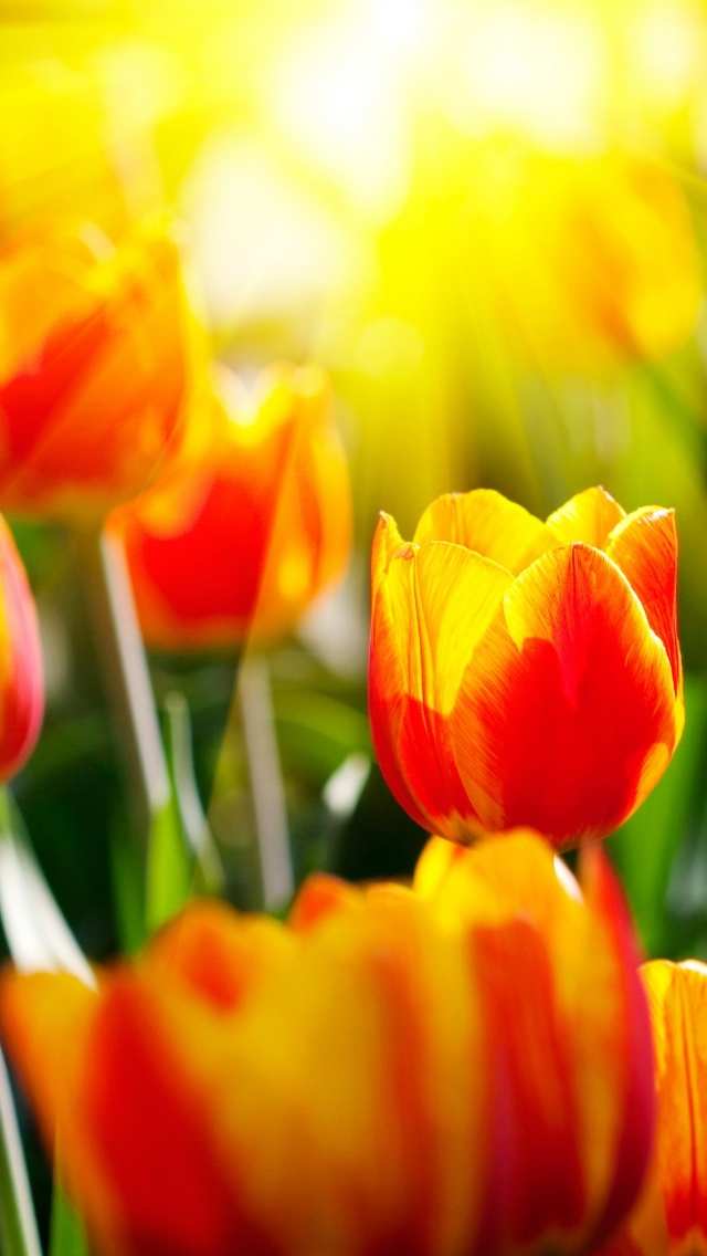 tulips iphone wallpaper 640*1136
