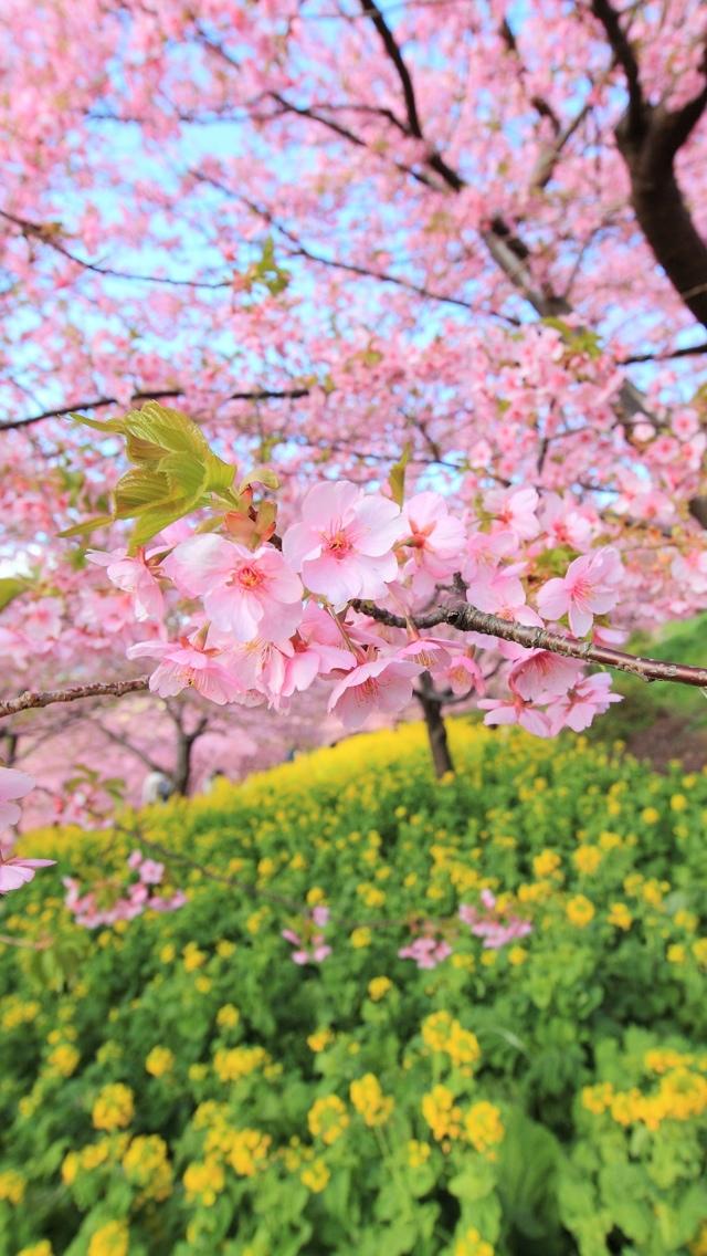 cherry blossom flower iphone wallpaper 640*1136 free