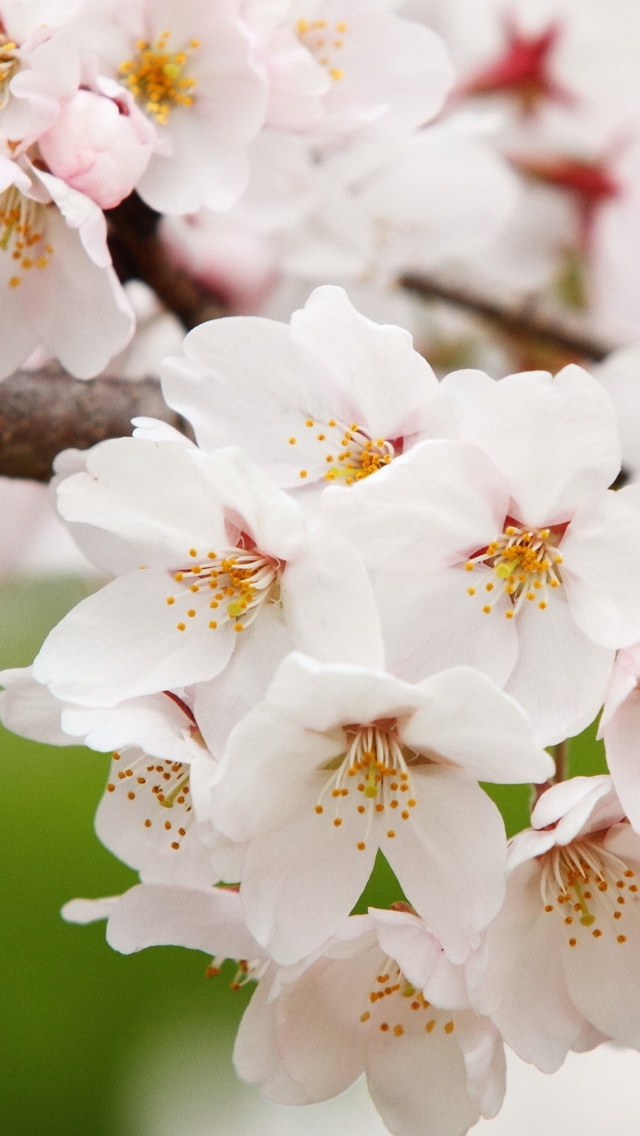 white blossoms flowers free wallpaper iphone 640*1136