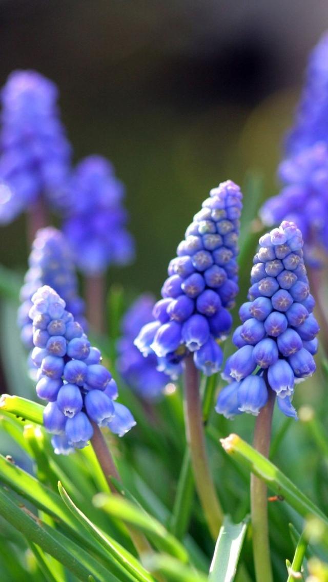 blue flowers free wallpaper iphone 640*1136