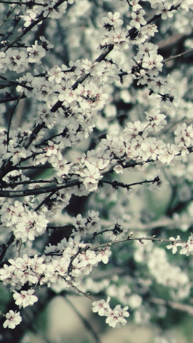 Blossoming branch Spring view iPhone 5 wallpaper 640*1136