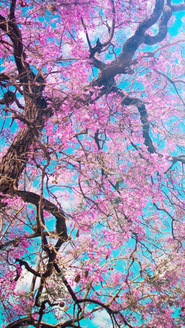 Cherry blossoms Spring view iPhone 5 wallpaper 640*1136