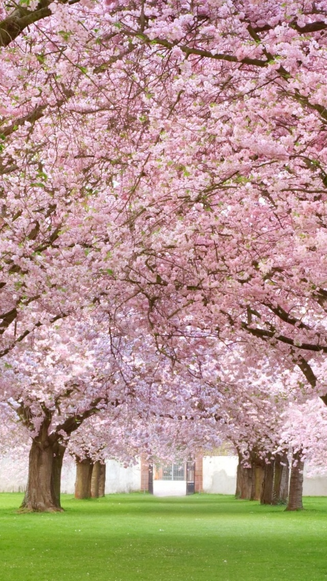 Blossoming Cherry Spring view iPhone 5 wallpaper 640*1136