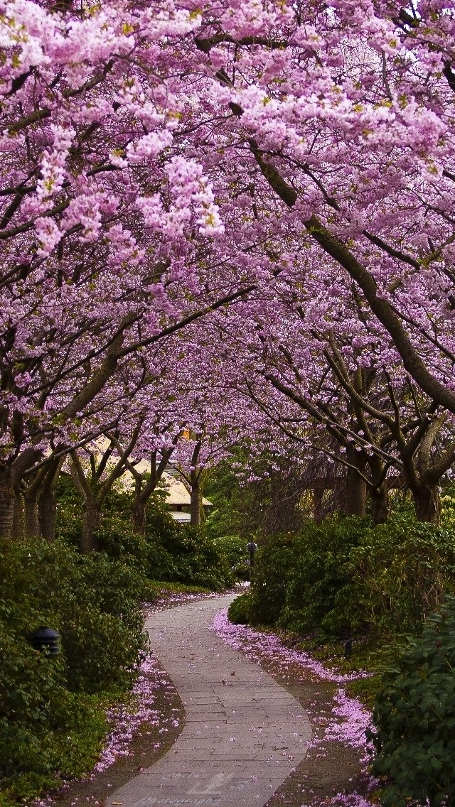 Cherry Blossom Spring view iPhone 5 wallpaper 640*1136